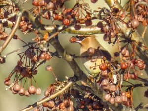 Cedar Waxwing (Canon Powershot)