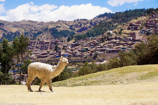 An alpaca in the hills above Cusco
